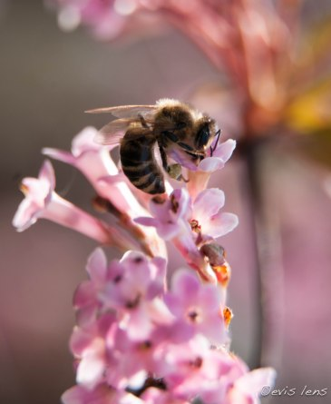 pink blossom and bee
