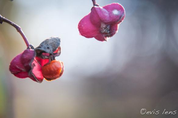 berries-5